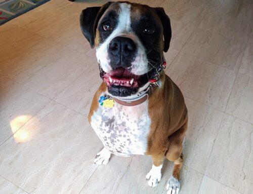 Super Dog School Welcomes Gino!